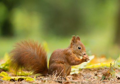 European red squirrel with hazelnut, clean green background, Czech republic, Europe
